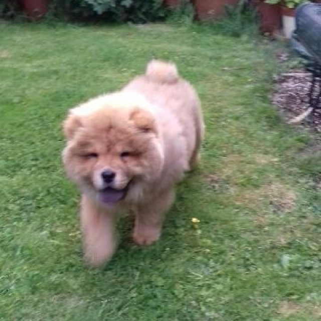 chow-chow, puppy, puppy-love, dogs-of-instagram, dog, dog-lover, chow-puppy, theodore, blogger-dog, male-chow, puppy-times, floof, floofball,