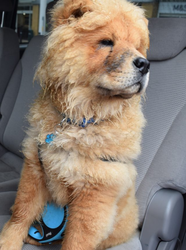 theodore the chow, theodorable, the groom room, theodore baby boy, chow chow, chow chow puppy, pets at home, grooming time, dog owners, dog grooming, grooming salon,